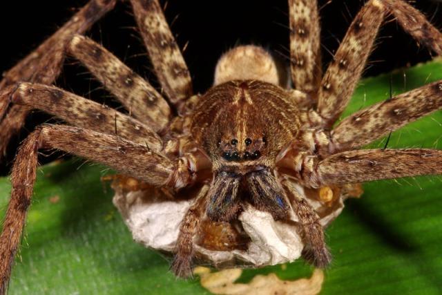 huntsman-spider-egg-sack